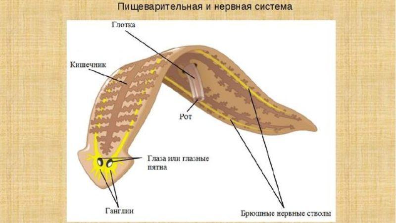 класс ресничные черви представители