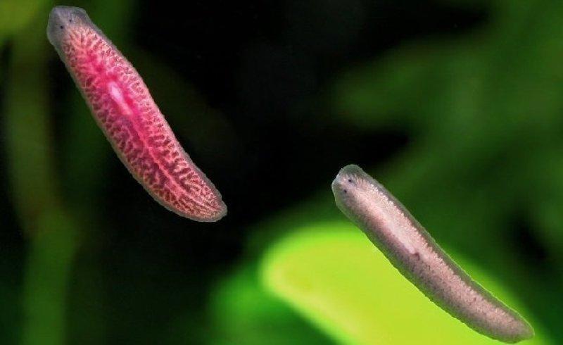ближайшими предками ресничных червей считаются