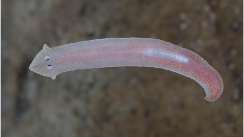 особенности строения ресничных червей